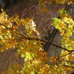 Осенний клен на фоне фактурной стены