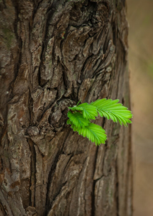sequoia_MG_7114