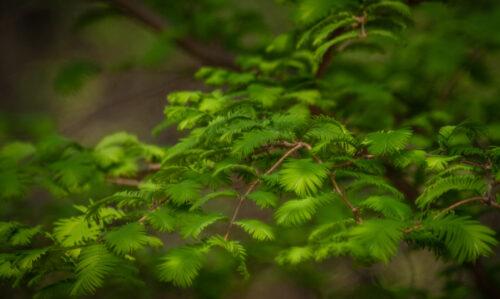 sequoia_MG_7119